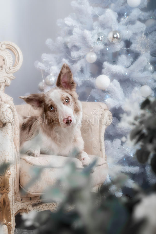Border collie dog lying down on white Christmas. Lights looking hopeful wishful believing celebratory concerned royalty free stock photography