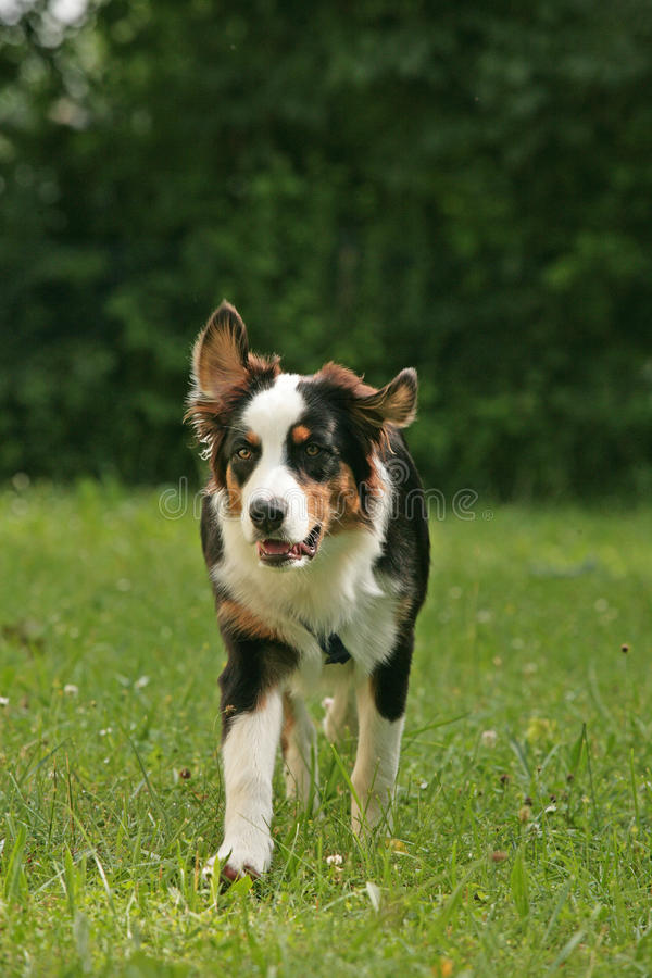 Border Collie dog in nature. Border Collie dog running across meadow stock photography