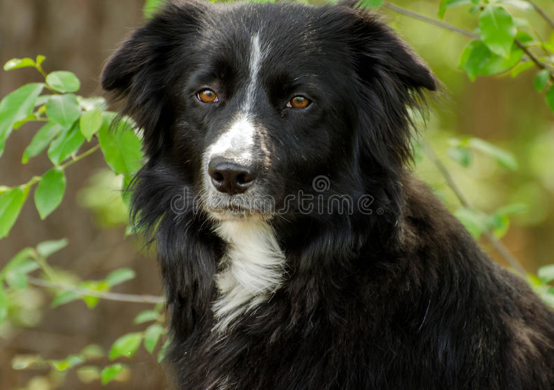 Border Collie Dog. Outdoor pet photography, humane society adoption photo, Walton County Animal Shelter, Georgia royalty free stock images