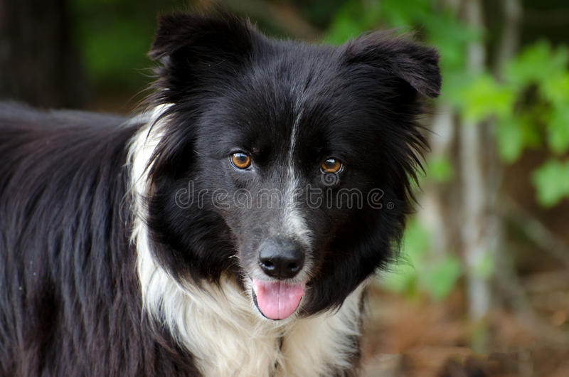 Border Collie dog. Outdoor pet photography, humane society adoption photo, Walton County Animal Shelter, Georgia stock images