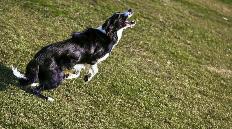 Border Collie Dog Playing in the Park royalty free stock photos