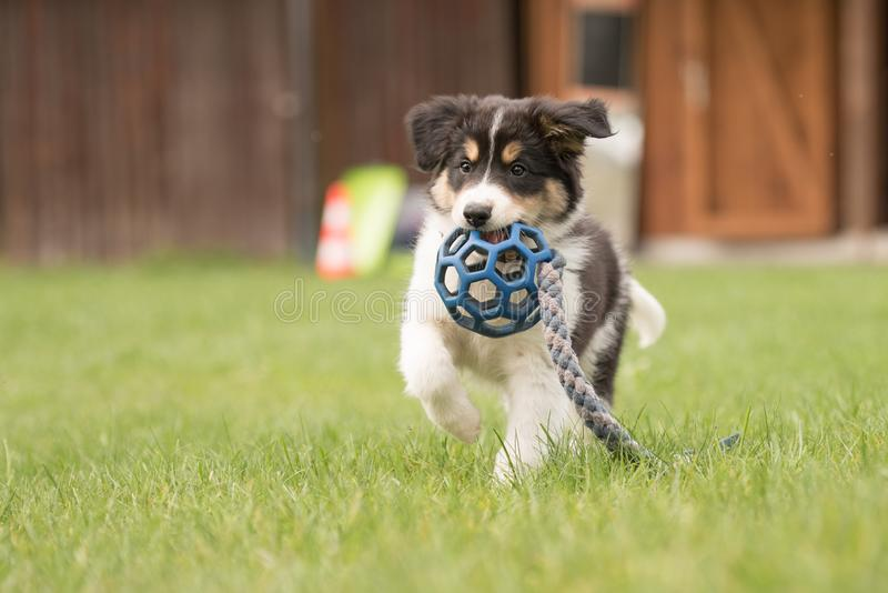 Cute Border collie dog puppy runs happily with a toy and plays. Border collie dog puppy runs happily with a toy and plays royalty free stock photo