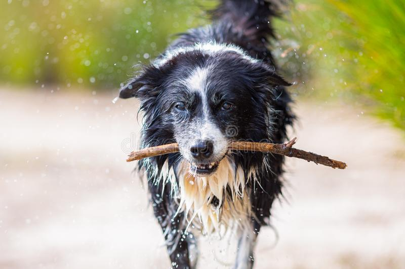 Border Collie dog runs with a stick. Over sand royalty free stock image