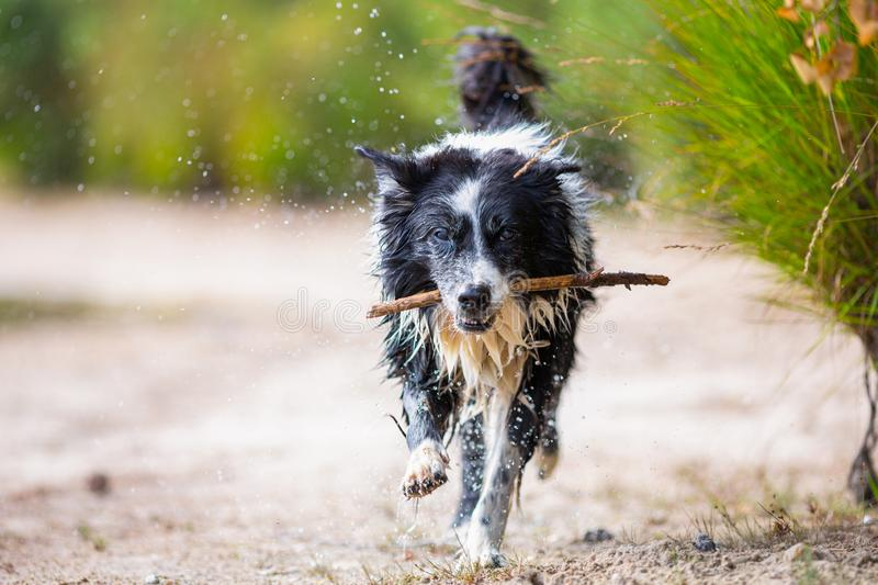 Border Collie dog runs with a stick. Over sand stock photo
