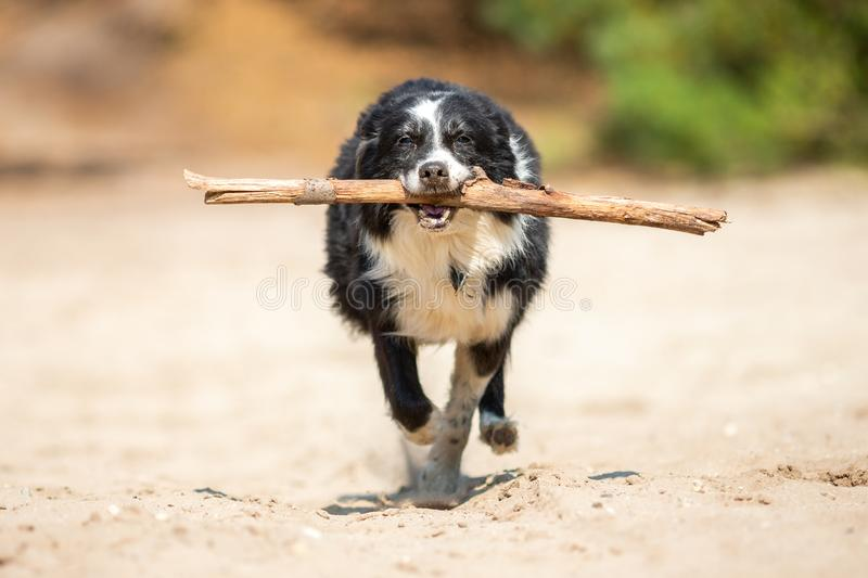 Border Collie dog runs with a stick. Over sand royalty free stock photo