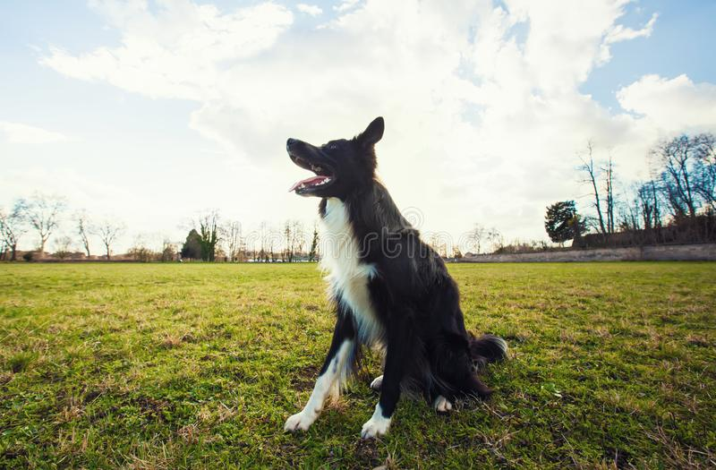 Border collie dog seated outdoors on the green grass in the park looking attentive waiting his master command. Obedient pet listen. Smart border collie dog stock images