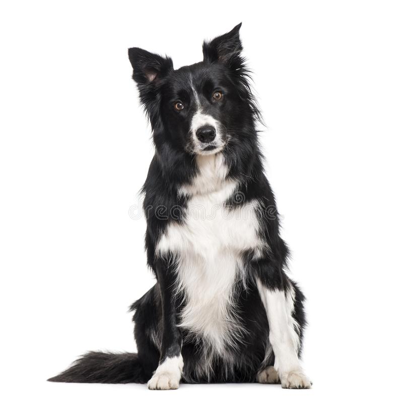 Border Collie dog sitting against white background stock image