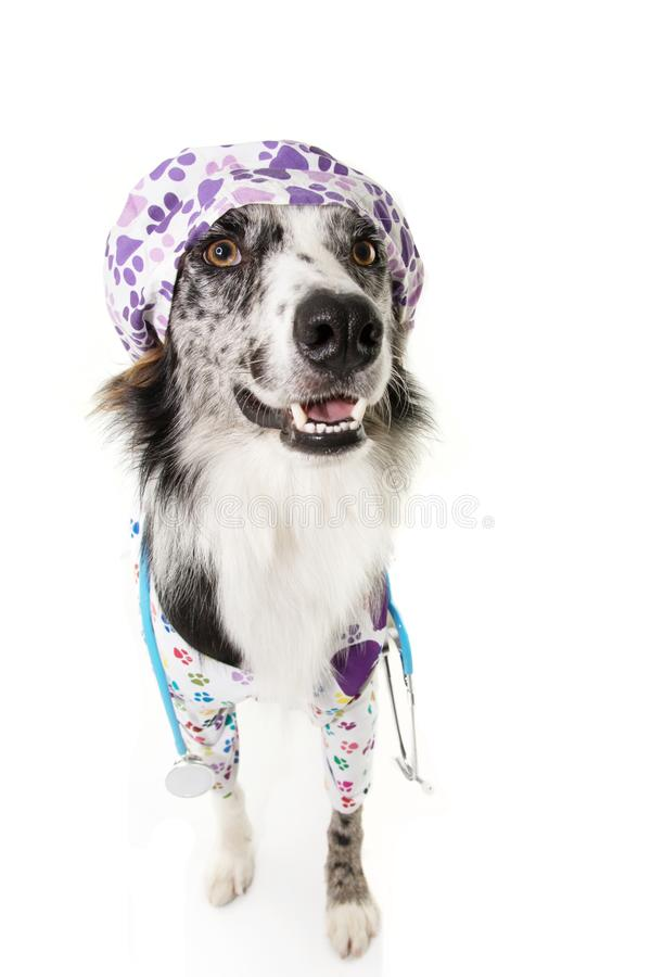 Border collie dog veterinarian costume for halloween or carnival with stethoscope and gown. Isolated on white background.  royalty free stock photography
