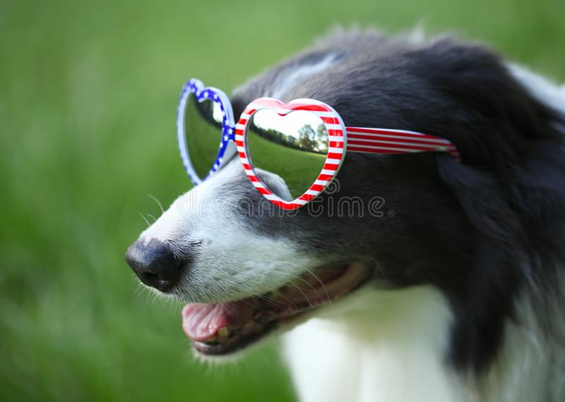 Dog wearing heart shaped American flag sunglasses for 4th of July. Border collie dog wearing heart shaped American flag sunglasses for 4th of July stock photo