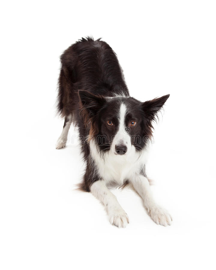 Border Collie Downdog stock image