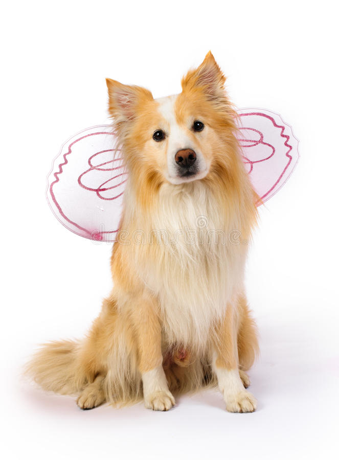 Border Collie dressed as a fairy royalty free stock photos