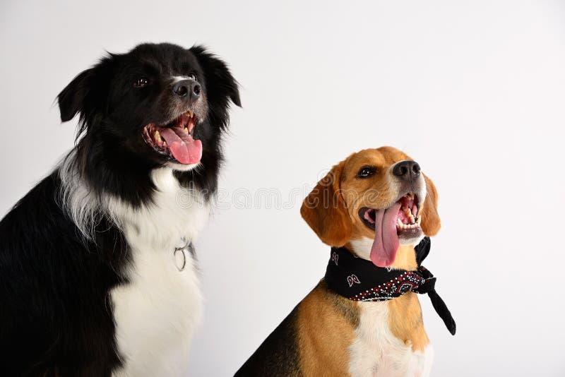 Border collie e um lebreiro são muito melhores amigos foto de stock