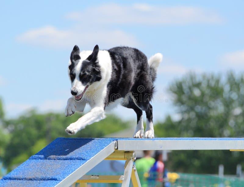 Border collie em uma experimentação da agilidade do cão imagens de stock