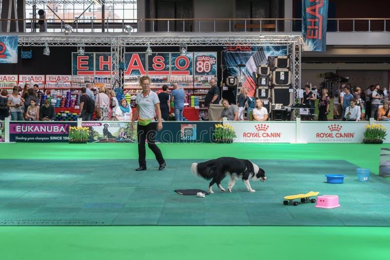 Border collie en la acción durante la exposición canina del mundo en Amsterdam foto de archivo