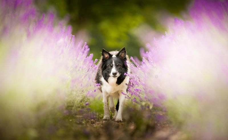 Border collie en lavanda foto de archivo