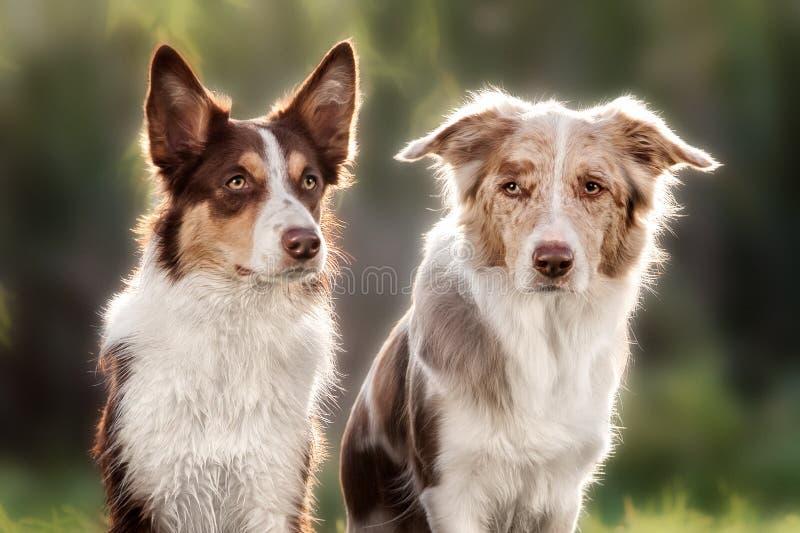 Border collie feliz del perro dos fotografía de archivo libre de regalías