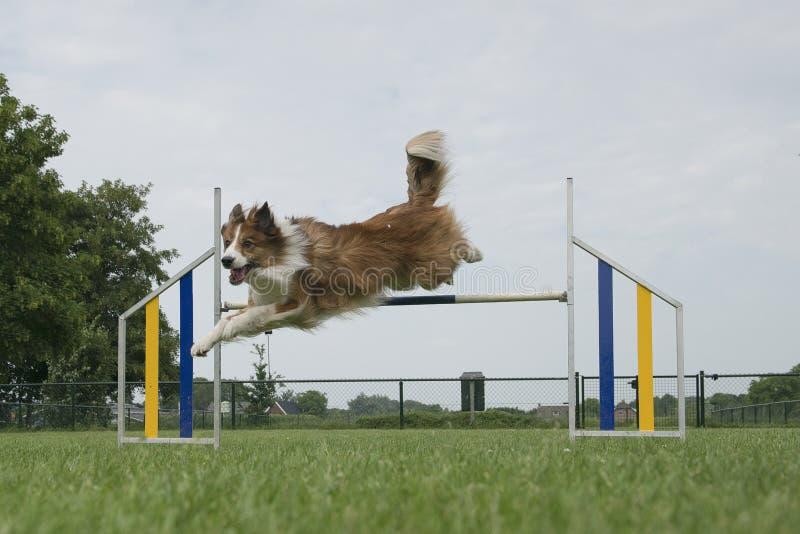 Border collie gemengde hond die over één enkele sprong springen stock foto