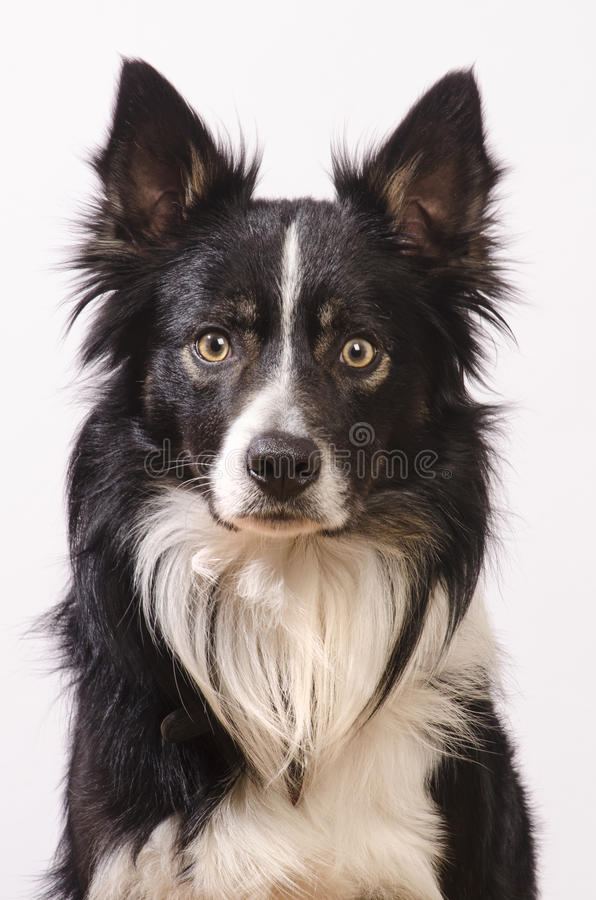 Border collie head shot royalty free stock photography