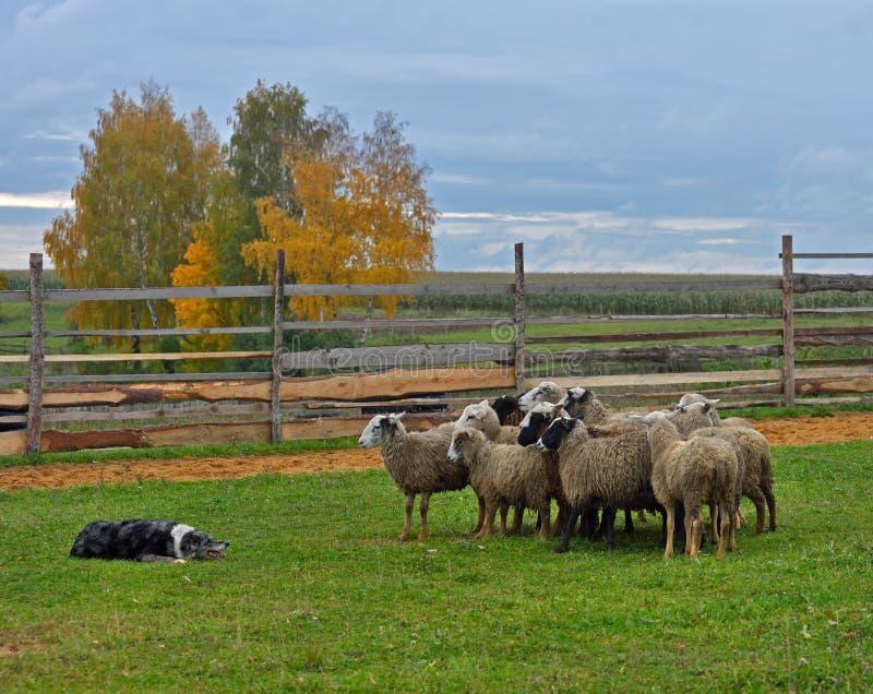 Border collie-In Herden leben stockfotos