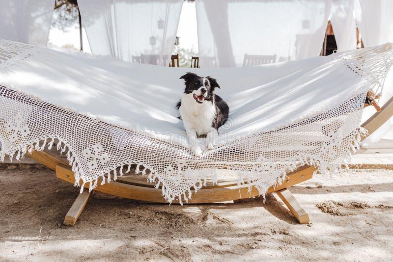 Border collie hermoso que miente en la hamaca blanca y que se relaja al aire libre Verano y forma de vida fotos de archivo libres de regalías