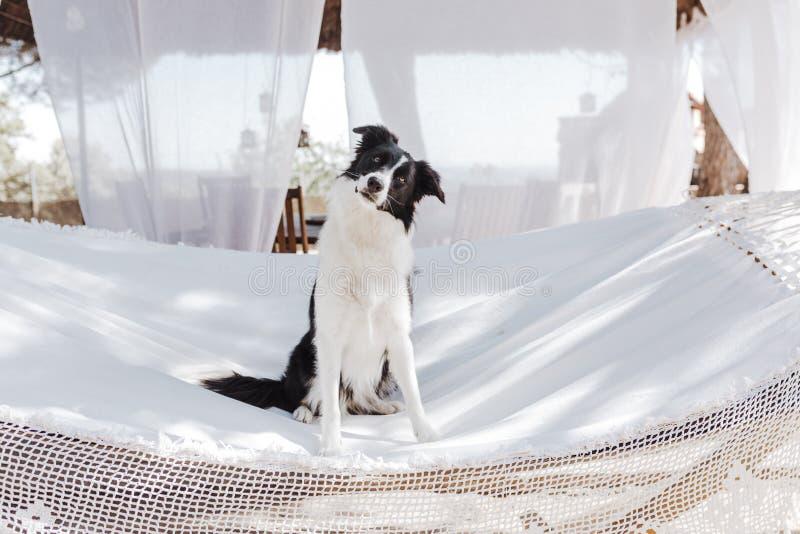 Border collie hermoso que se sienta en la hamaca blanca y que se relaja al aire libre Verano y forma de vida fotografía de archivo