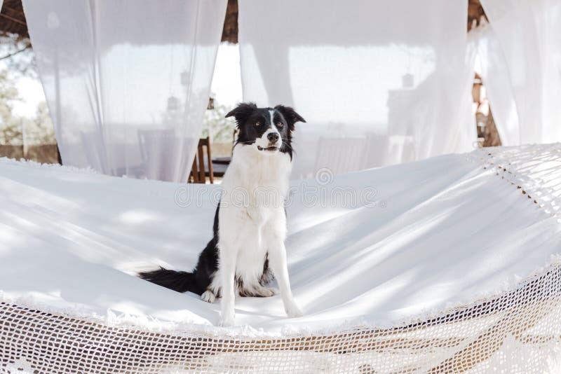 Border collie hermoso que se sienta en la hamaca blanca y que se relaja al aire libre Verano y forma de vida imágenes de archivo libres de regalías