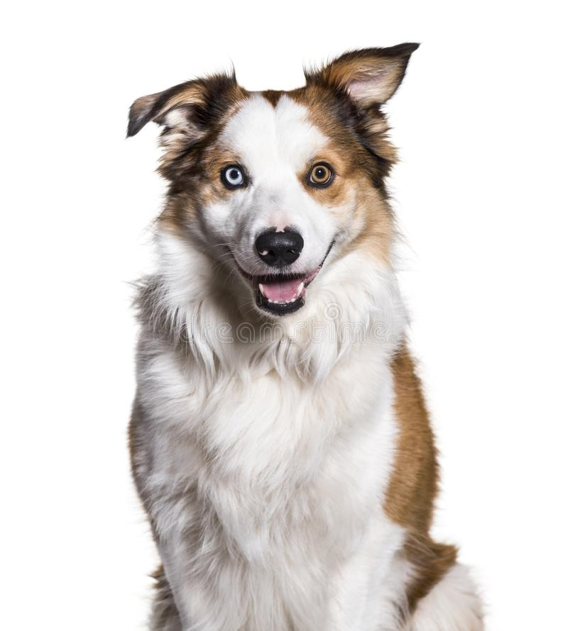 Download Border Collie With Heterochromia Looking At Camera Against White Stock Photo - Image of familiaris, photography: 113970636