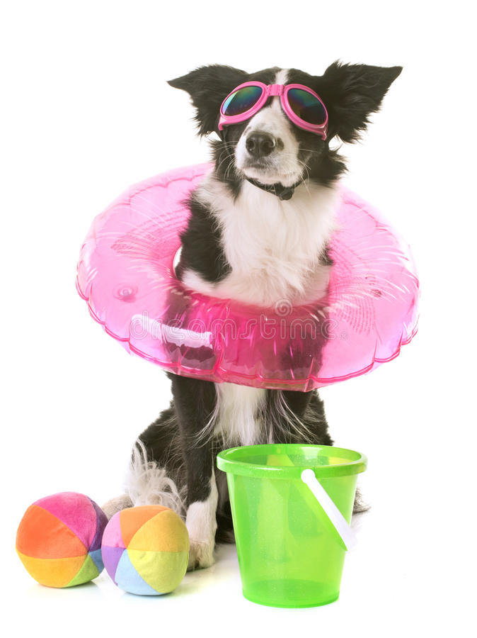 Border collie in holidays royalty free stock image