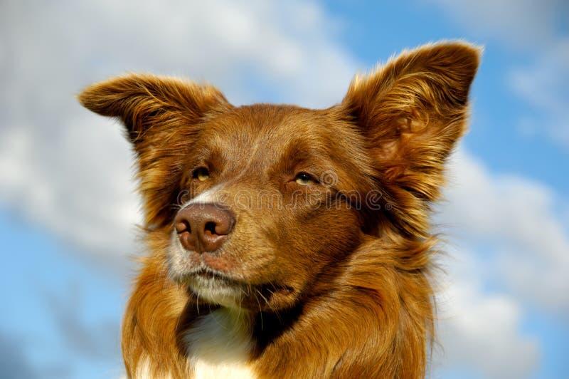 Border collie-hond stock fotografie