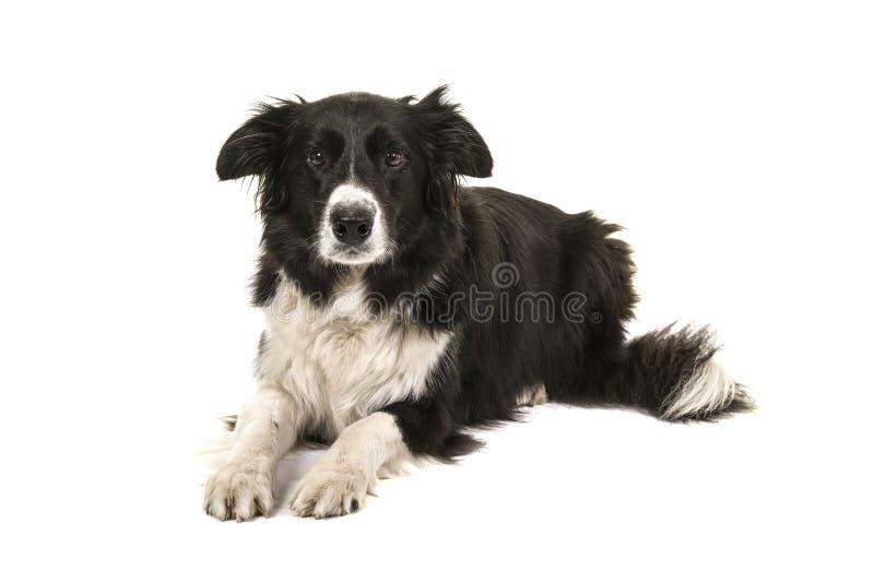 Border collie-hond liggen die die de camera bekijken op a wordt geïsoleerd royalty-vrije stock foto