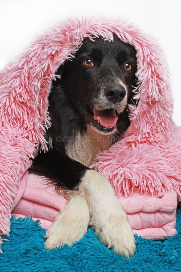 Border collie-hond met een zachte deken wordt behandeld die stock afbeeldingen