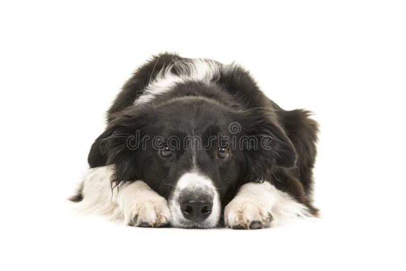 Border collie-Hund, der sich mit seinem Kopf auf dem Bodenschauen hinlegt lizenzfreies stockfoto