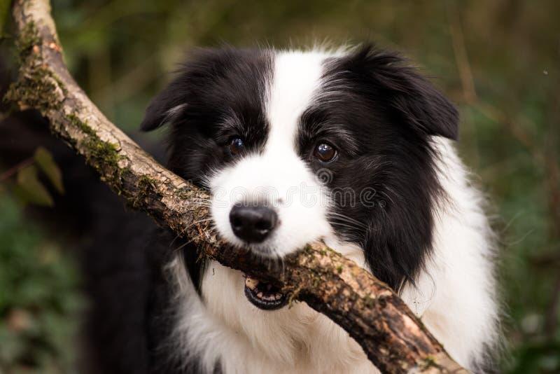Border collie-Hund mit Stock lizenzfreie stockfotografie