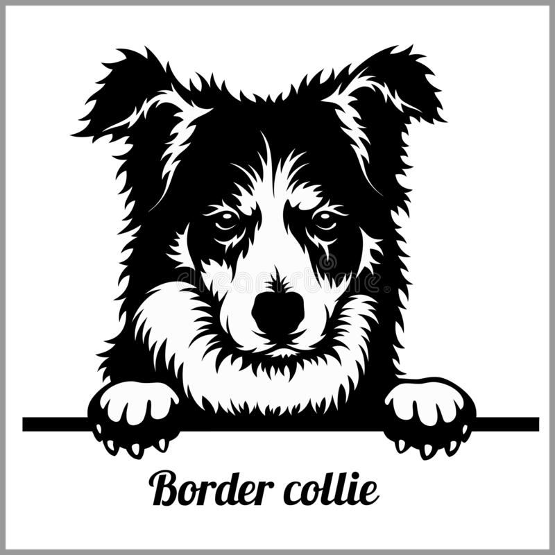 Border collie - Hunde spähend - - Zuchtgesichtskopf lokalisiert auf Weiß lizenzfreie abbildung