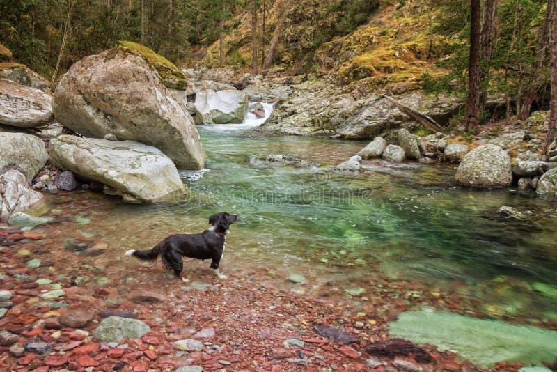 Border collie hundskovlar i en flod i Korsika royaltyfri bild