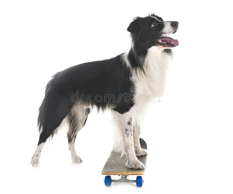 Border collie i deskorolka obraz stock