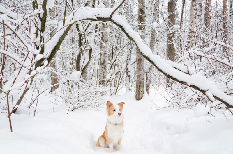 Border collie Jeunes promenades énergiques de chien image stock