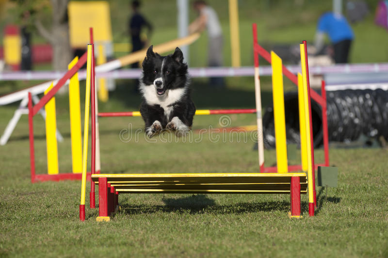 Border Collie jumping on agility competition. Border Collie jumping over barrier on agility competition royalty free stock image
