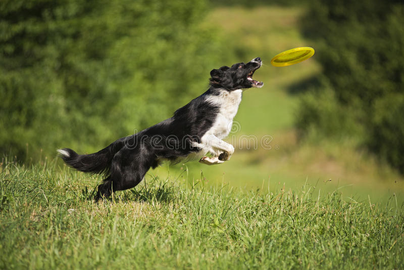 Download Border Collie stock image. Image of animals, flying, canine - 40315159