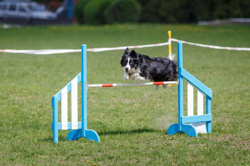 Border Collie jumping over the obstacle on dog agility sport competition.  royalty free stock image