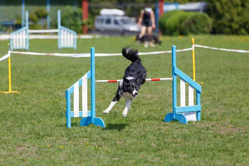 Border Collie jumping over the obstacle on dog agility sport competition.  royalty free stock photography