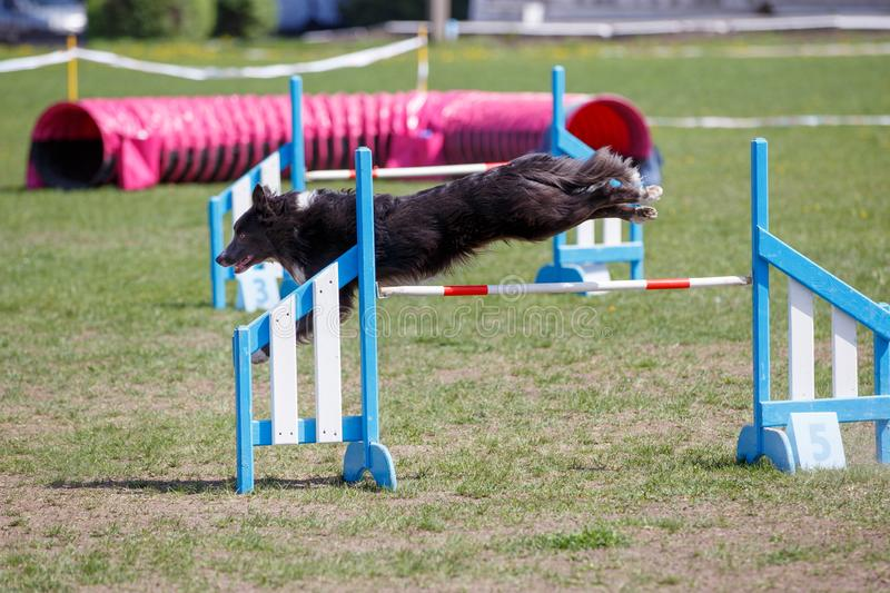 Border Collie jumping over the obstacle on dog agility sport competition.  stock photos