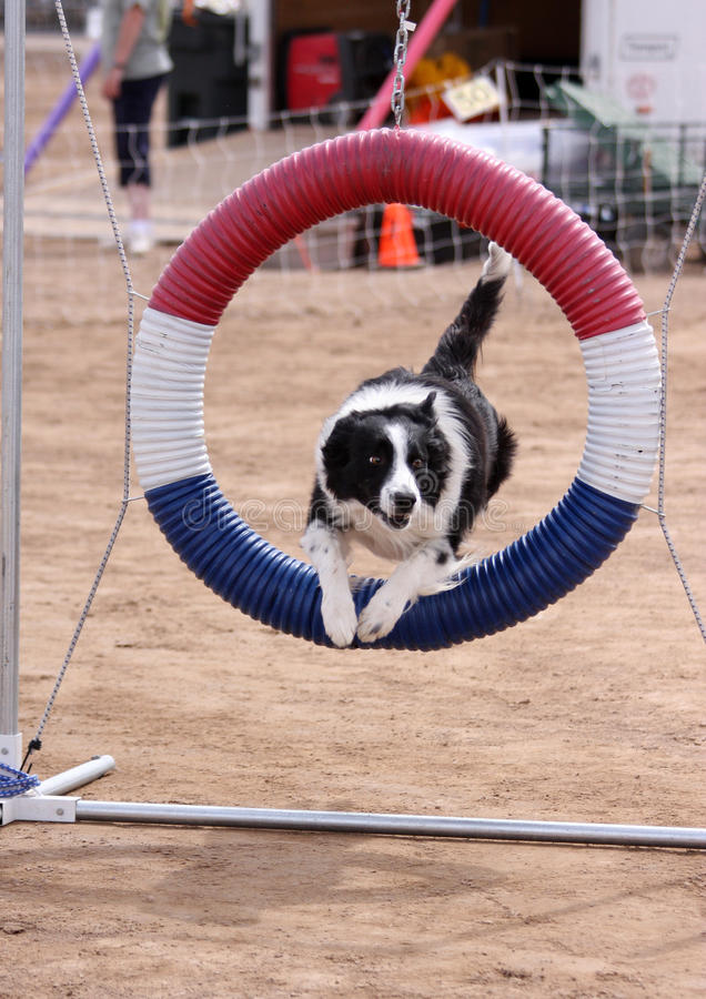 Download Border Collie Jumping Through Ring Stock Photo - Image: 26655806