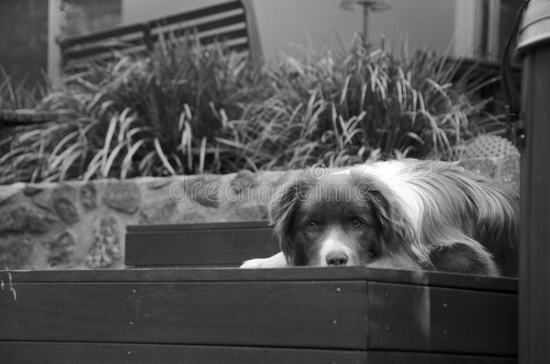 Border Collie laying on the deck royalty free stock images
