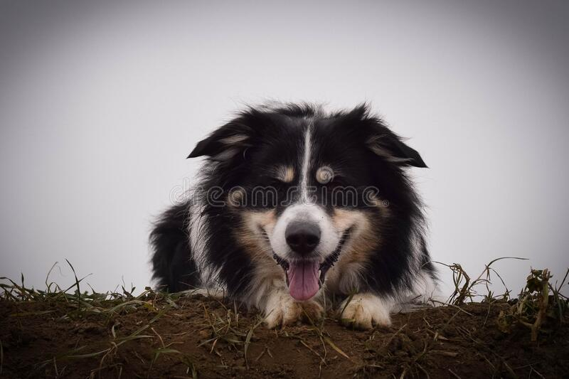 Border collie is laying on filed. He is so cute and has funny face stock photo