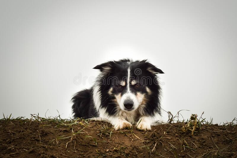 Border collie is laying on filed. He is so cute and has funny face stock images