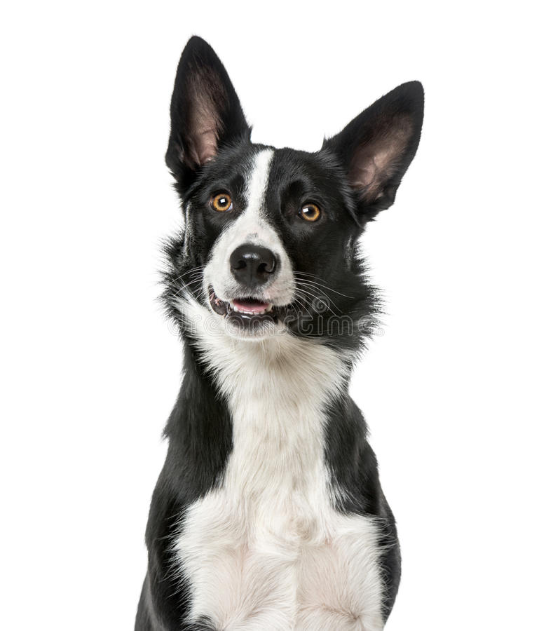 Border Collie looking away, , 1 year old royalty free stock photos