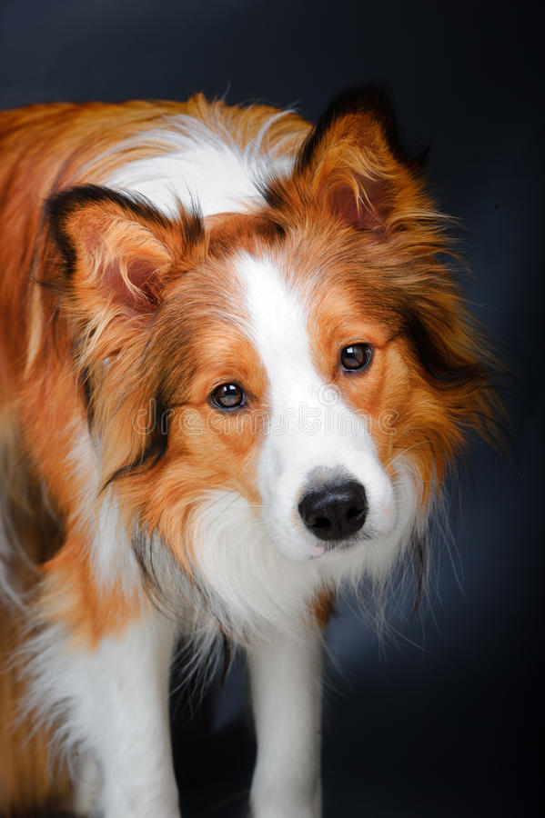 Download Border Collie Looking At You In The Dark Stock Image - Image: 24345579
