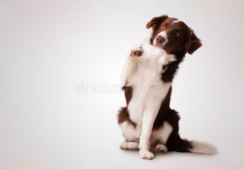 Border collie marrón menor que sienta y que aumenta una pata foto de archivo libre de regalías