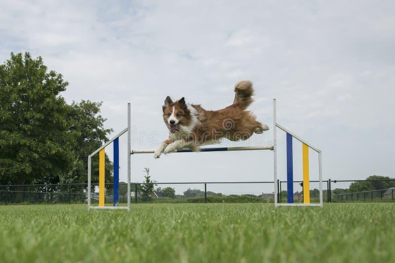 Border collie mengde hond springend over één enkele sprong terwijl het bekijken de camera stock afbeeldingen